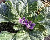 【植物】ハリポタで有名に 叫び声を聞くと死ぬ… 伝説の植物「マンドラゴラ」開花 淡路島